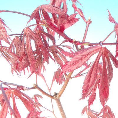 Outdoor bonsai - maple palmatum Trompenburg - red maple dlanitolistý - 2