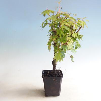 Outdoor bonsai-Acer palmatum Koto Maru - 2