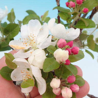 Outdoor bonsai - Malus halliana - Small-fruited apple tree - 2