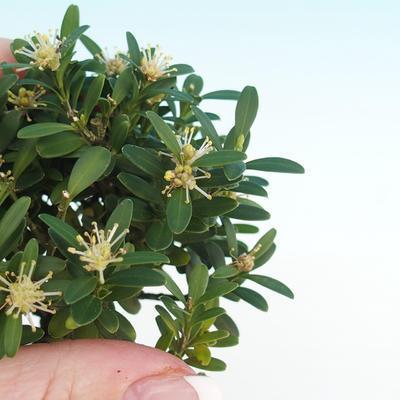 Room bonsai - Buxus harlandii - cork buxus - 2