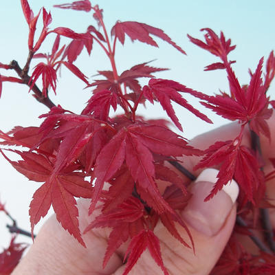 Outdoor bonsai - Maple tree - Acer palmatum DESHOJO - 2