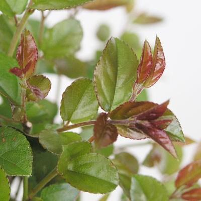 Indoor bonsai - Sagerécie thea - Sagerécie thea - 2