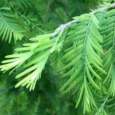 Outdoor bonsai - Metasequoia glyptostroboides - Chinese Metasequoia - 2