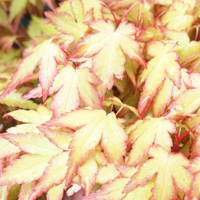 Outdoor bonsai - Acer palmatum Orange - 2