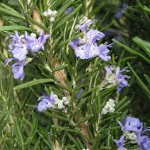 Room bonsai - Rosemary-Rosmarinus officinalis - 2
