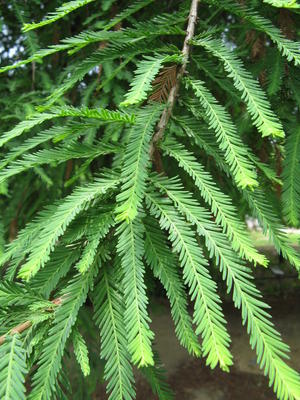 Outdoor bonsai - Two-line bream - 2