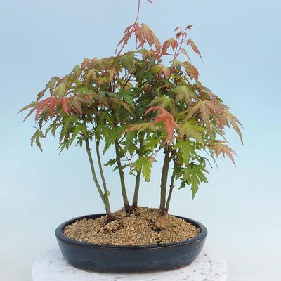 Pinus parviflora - Small-flowered Pine VB2020-120 - 3