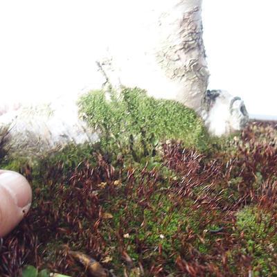 Outdoor bonsai - Zelkova - 3