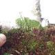 Outdoor bonsai - Zelkova - 3/5