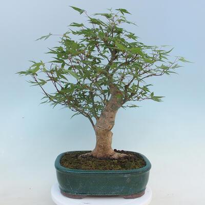 Pinus parviflora - Small-flowered Pine VB2020-121 - 3
