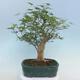 Pinus parviflora - Small-flowered Pine VB2020-121 - 3/3
