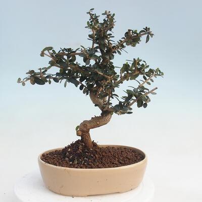 Pinus parviflora - Small-flowered Pine VB2020-124 - 3