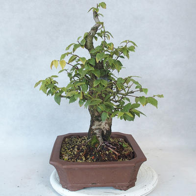 Outdoor bonsai-Ulmus Glabra-Solid clay - 3