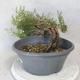 Outdoor bonsai - Satureja mountain - Satureja montana - 3/5