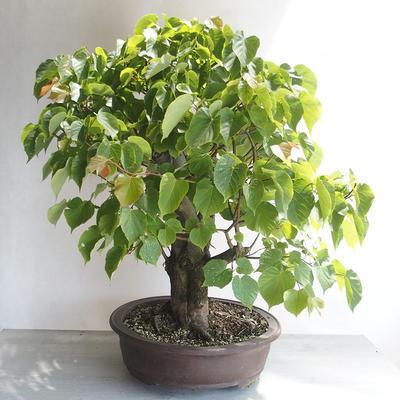 Outdoor bonsai - Linden - Tilia cordata - 3