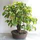 Outdoor bonsai - Linden - Tilia cordata - 3/5