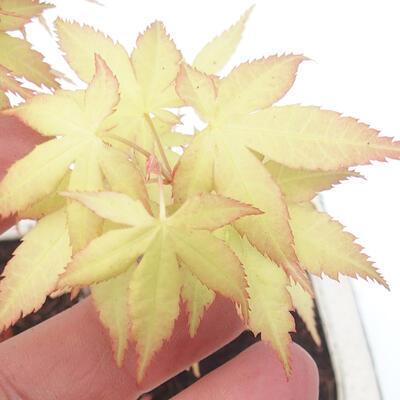 Outdoor bonsai - Acer pal. Sango Kaku - Palm Maple - 3