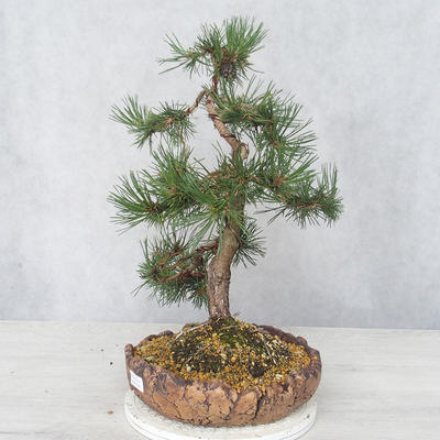 Outdoor bonsai - Pinus Mugo - Kneeling Pine - 3