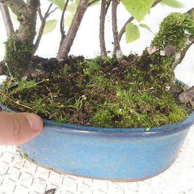Outdoor bonsai - bird cherry - Prunus padus - 3