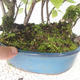 Outdoor bonsai - bird cherry - Prunus padus - 3/3