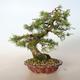 Outdoor bonsai -Larix decidua - Larch - 3/5
