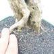 Indoor bonsai - Duranta erecta Aurea - 3/5