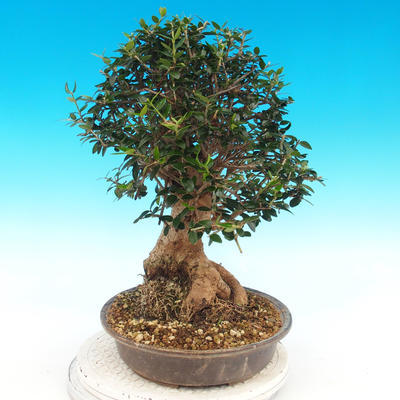 Indoor bonsai - Olea europaea sylvestris -Oliva european tiny - 3