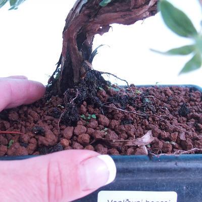 Outdoor bonsai - Potentilla fruticosa - 3