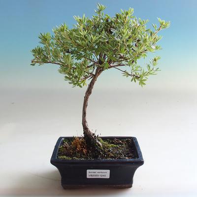 Outdoor bonsai-Cinquefoil - Dasiphora fruticosa yellow - 3