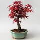 Outdoor bonsai - Maple palmatum DESHOJO - Japanese Maple - 3/5