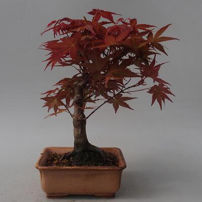 Outdoor bonsai - Maple palmatum DESHOJO - Japanese Maple - 3