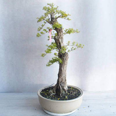 Ceramic bonsai bowl 22 x 16 x 2,5 cm, color gray - 3