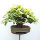 Outdoor bonsai - Hornbeam - Carpinus betulus - 3/5
