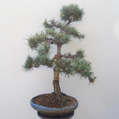 Outdoor bonsai - Pinus sylvestris Watereri - Scots Pine - 3