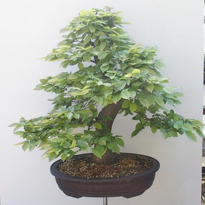 Outdoor bonsai - Hornbeam - Carpinus betulus - 3