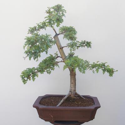 Outdoor bonsai - Hawthorn - 3