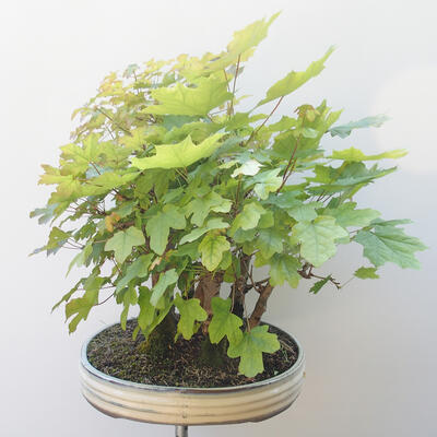 Acer campestre, acer platanoudes - Baby maple, maple - 3