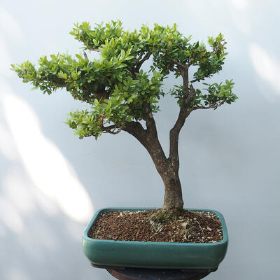 Outdoor bonsai - Boxwood - 3