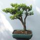 Outdoor bonsai - Boxwood - 3/5
