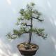 Outdoor bonsai - Pinus sylvestris - Scots pine - 3/4