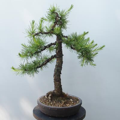 Outdoor bonsai - Larix decidua - Larch - 3