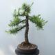 Outdoor bonsai - Larix decidua - Larch - 3/5