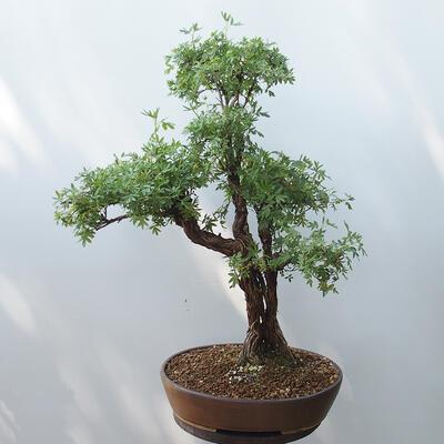 Outdoor bonsai - Cinquefoil - Potentila fruticosa yellow - 3