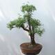 Outdoor bonsai - Cinquefoil - Potentila fruticosa yellow - 3/5