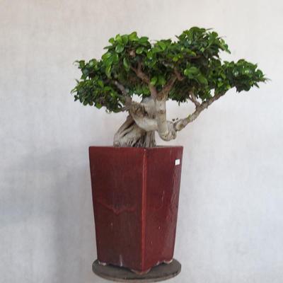 Room bonsai - Ficus nitida - small ficus - 3