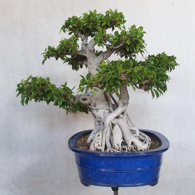 Room bonsai - Ficus kimmen - little ficus - 3