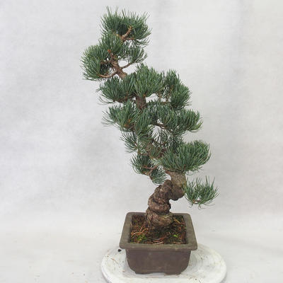 Outdoor bonsai - Pinus parviflora - Small-flowered pine - 3
