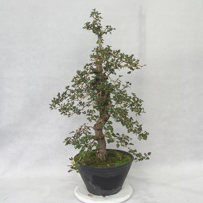 Outdoor bonsai - Hawthorn pink flowers - Crataegus laevigata paul´s Scarlet - 3