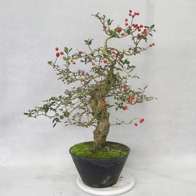 Outdoor bonsai - Hawthorn white flowers - Crataegus laevigata - 3