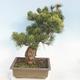 Outdoor bonsai - Pinus parviflora - Small-flowered pine - 3/5